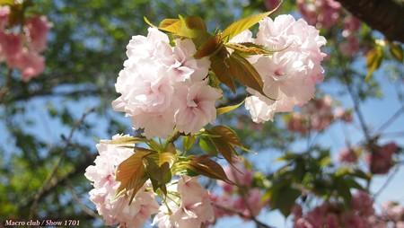 八重桜 八重曙
