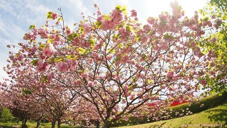 hiro 君のための 「 八重桜 関山 」 みごとな枝振り
