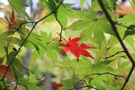 十和田の紅葉