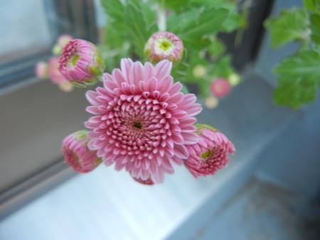 今年も咲いた菊