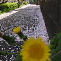 桜のじゅうたんとたんぽぽ