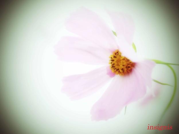 Photos: 乙女秋桜......
