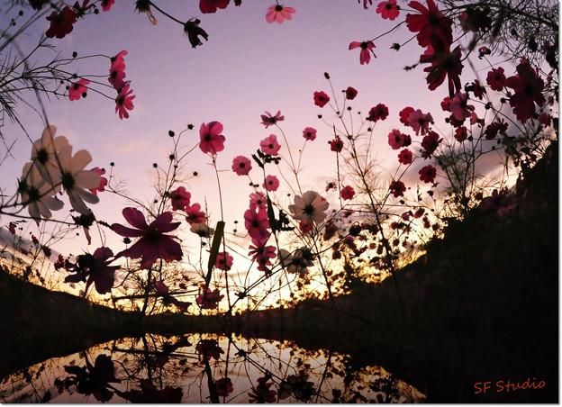 写真: 夕焼けコスモス