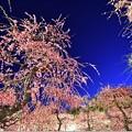 Photos: 宵のしだれ梅