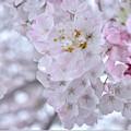 Sakura in 桜