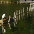 Photos: 不忍池のサギ300st2