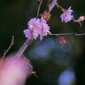 Photos: 10月桜397