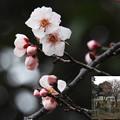 Photos: 谷中墓地の梅055_092