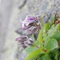 高嶺に咲く花