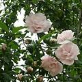八重咲きムクゲ03