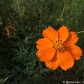 写真: 黄花コスモス~蒸し暑い中で秋発見