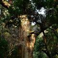 写真: 春日杉