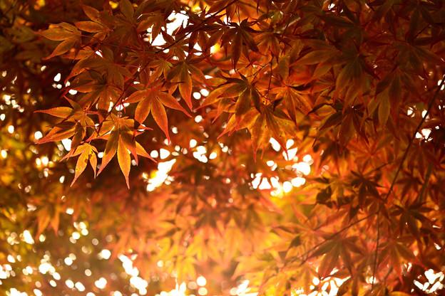 Photos: 楓、蝉時雨の中