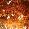 楓、蝉時雨の中