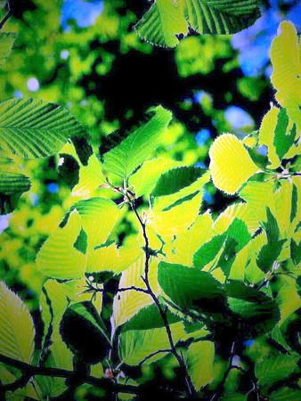 柿の葉-01