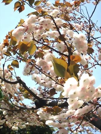八重桜-01b