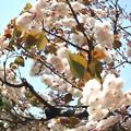 Photos: 八重桜-01b