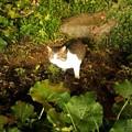 写真: _160103 134 白トラ猫
