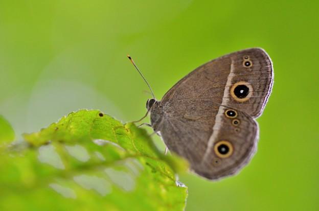 日陰蛇の目蝶