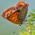 濡れ蝶~ベニシジミ