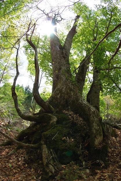 Photos: 老木ブナの木