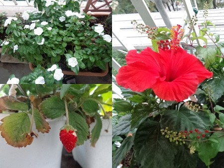 ベランダ花