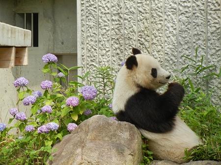 紫陽花と大熊猫 DSCN2671