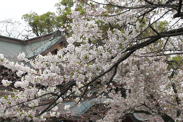 三島大社の桜-01