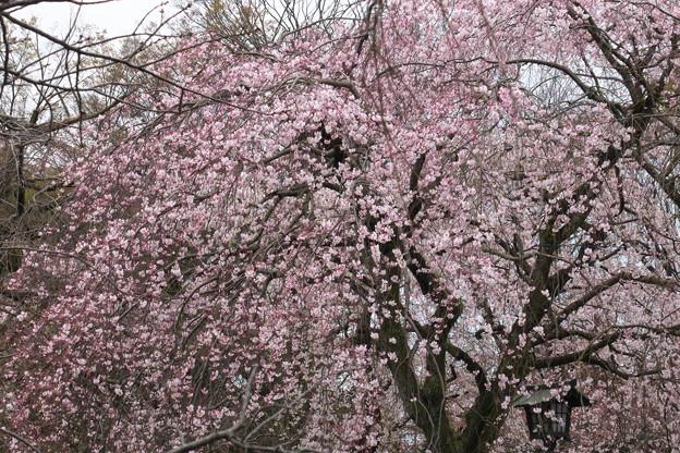三島大社の桜-02