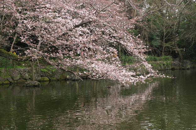 三島大社の桜-03