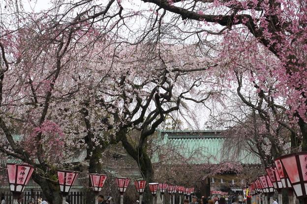 三島大社の桜-04
