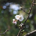 小福桜~徳川庭園
