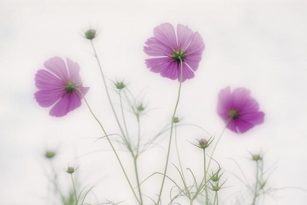 写真: Purple Haze.