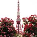 写真: お花畑に聳えるテレビ塔。