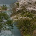 鴛鴦池の桜1