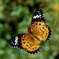 写真: ツマグロ蝶 ♀