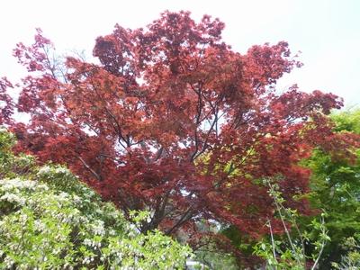 2016.4.16春紅葉