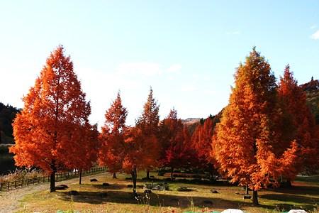 メタセコイアの紅葉  冬ソナの木 (#^.^#)
