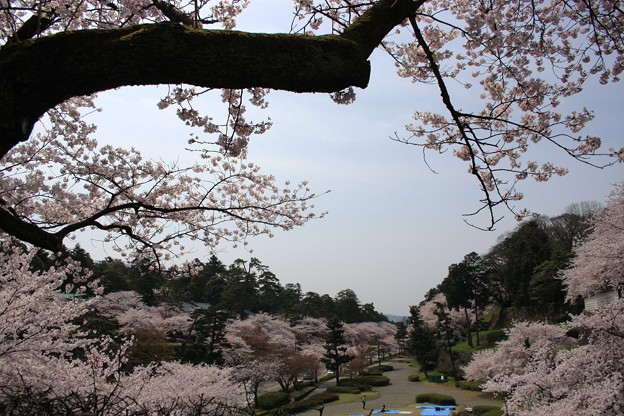 石川橋から桜