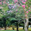 Photos: 百日紅咲く代々木公園