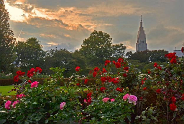 写真: バラ咲く新宿御苑