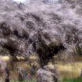 写真: 枝垂れ桜「新宿御苑」