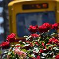 写真: 薔薇と都電1