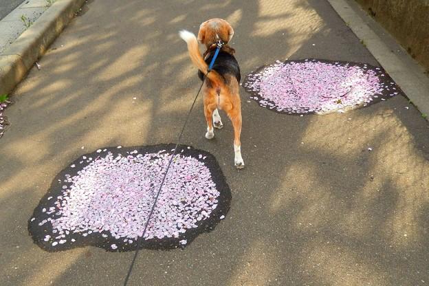 歩道に咲くサクラ