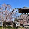 写真: 西光寺の枝垂れ桜