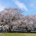 写真: 根岸家長屋門の桜