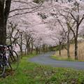 写真: 原市場名栗線の桜