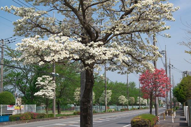 川越工業団地の街路樹