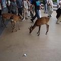 Photos: 宮島桟橋の鹿
