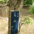 写真: 樅(モミ)